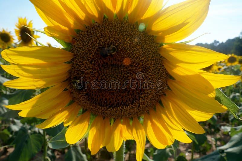 Tournesol étroit avec des abeilles photo stock