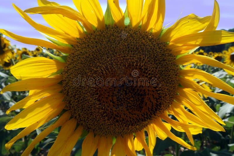 Tournesol étroit avec des abeilles photos libres de droits