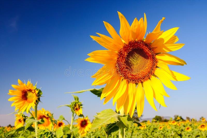 Download Tournesol photo stock. Image du vert, centrale, fleur - 45352374
