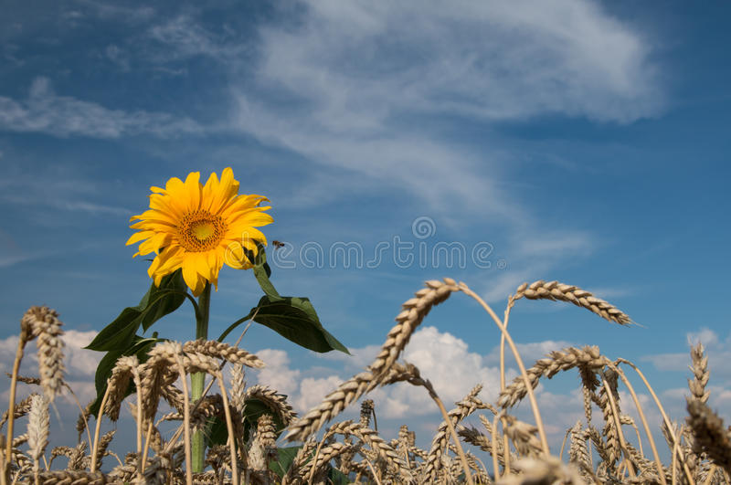 Tournesol photographie stock libre de droits