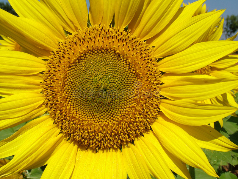 Download Tournesol image stock. Image du stigmate, pollinisation - 54635