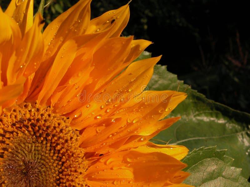 Download Tournesol image stock. Image du fleurs, normal, lames, centrales - 55563
