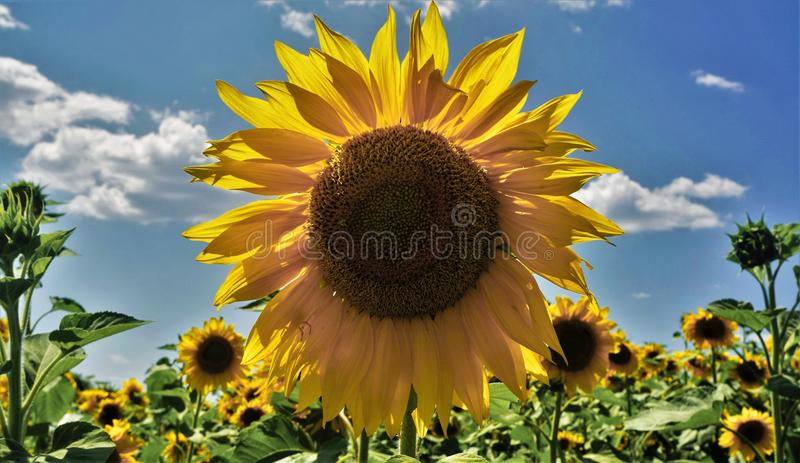 Tournesol photos stock