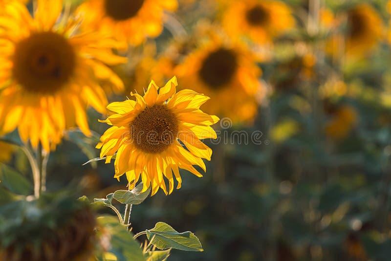 Tournesol au coucher du soleil photos libres de droits