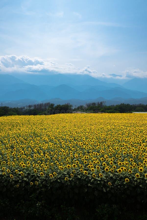 Tournesol au Japon photo libre de droits