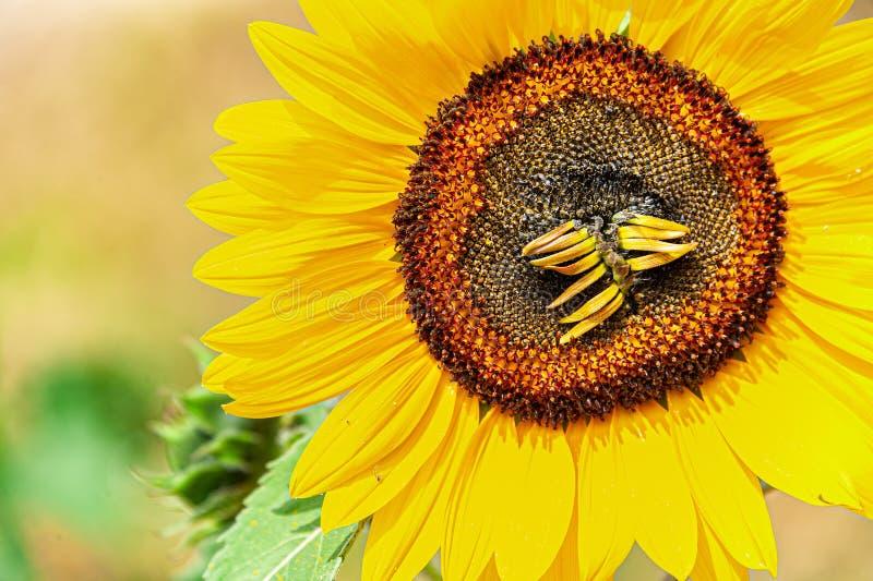Tournesol au soleil avec les fleurons secs photographie stock libre de droits