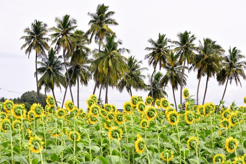 Tournesol avec des arbres de noix de coco images libres de droits