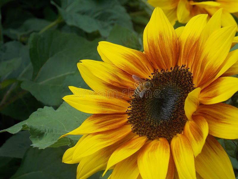 Tournesol avec l'abeille photo stock