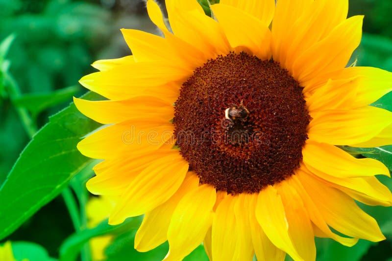 Tournesol avec le bourdon ou l'abeille pendant l'été photo stock