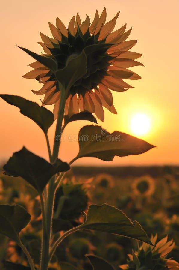 Tournesol avec le lever de soleil photographie stock libre de droits