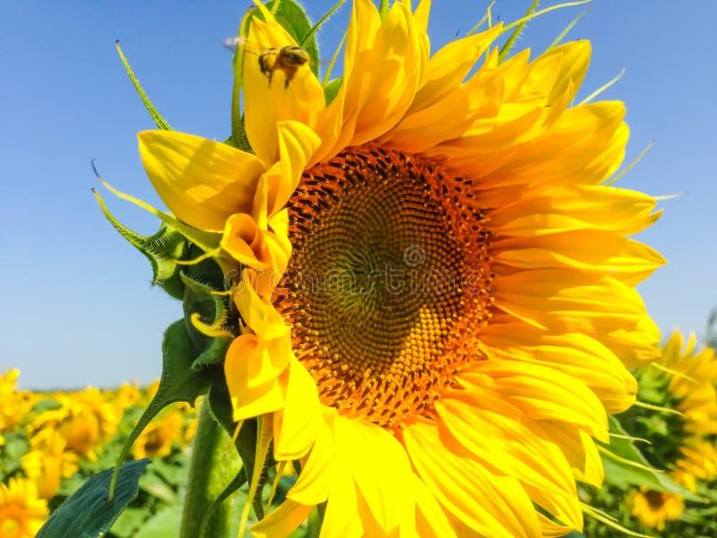 Tournesol avec les p?tales d'or Une abeille se reposant sur une fleur et rassemblant le nectar Feuilles de vert comme fond images stock