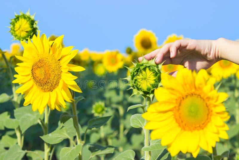 tournesol avec une main atteignant en avant pour la toucher dans une image conceptuelle de nature, d'agriculture et de beauté nat photos libres de droits