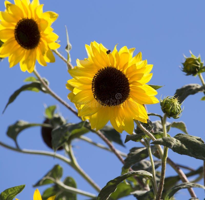 Tournesol centré par noir jaune lumineux (helianthus annuus) images stock