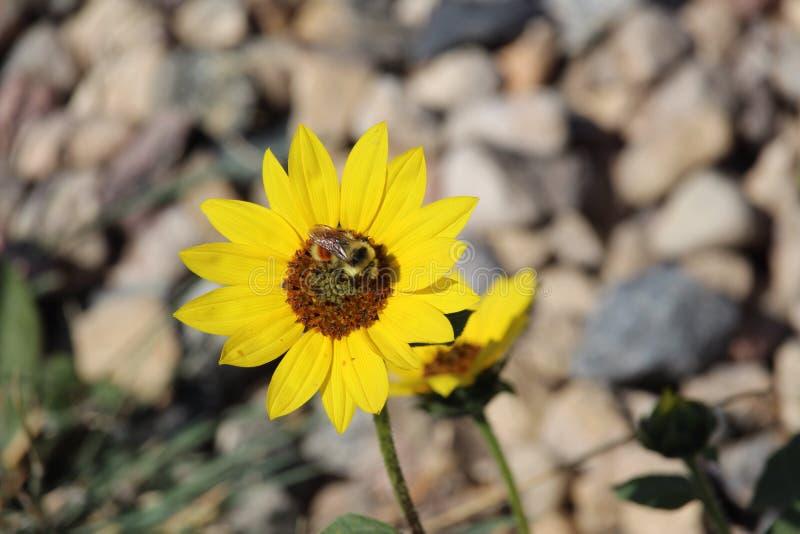 Tournesol commun et abeille sauvage images libres de droits