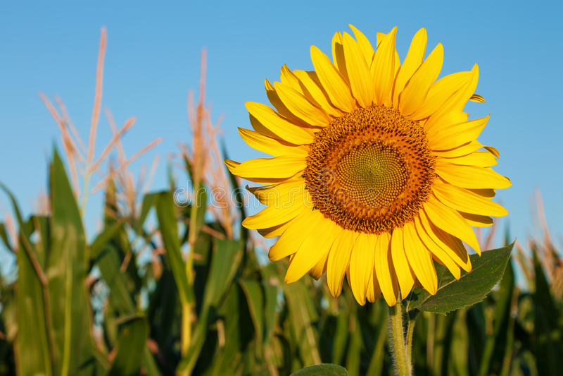 Tournesol contre le gisement de ciel bleu et de maïs photographie stock