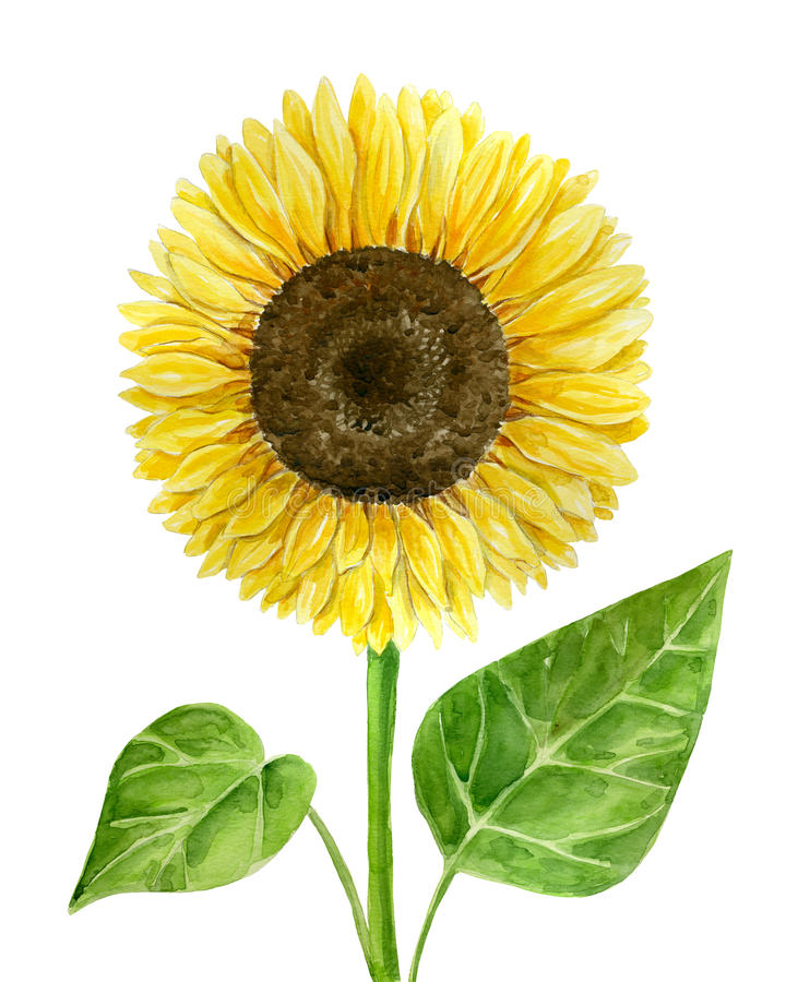 Tournesol d'aquarelle sur le blanc illustration libre de droits