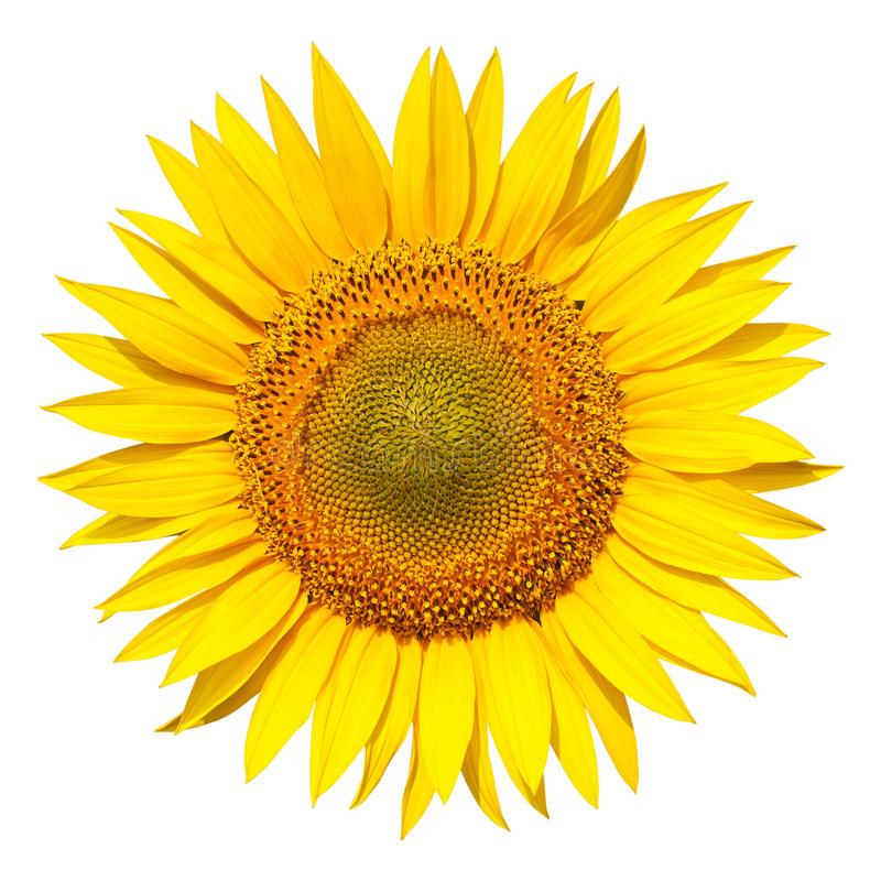 Tournesol d'isolement images libres de droits