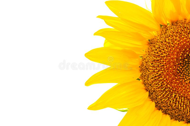 Tournesol d'isolement image stock