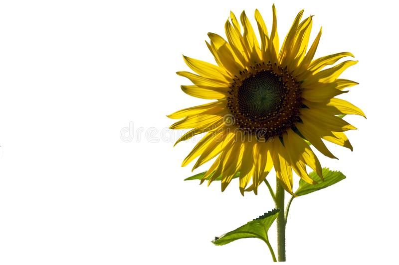 Tournesol d'isolement sur le fond blanc photos stock
