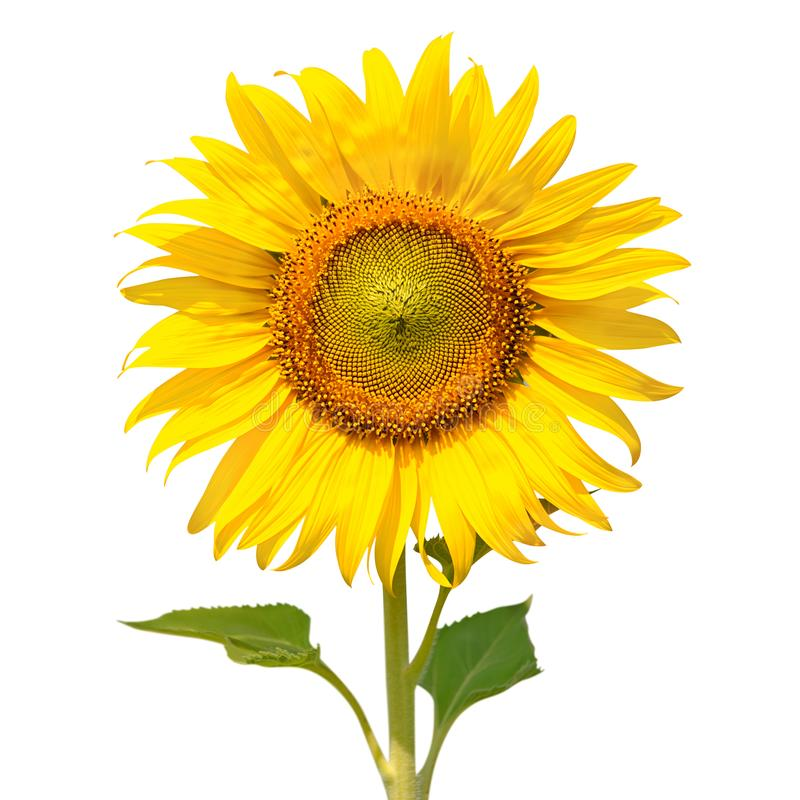 Tournesol d'isolement sur le fond blanc photo libre de droits