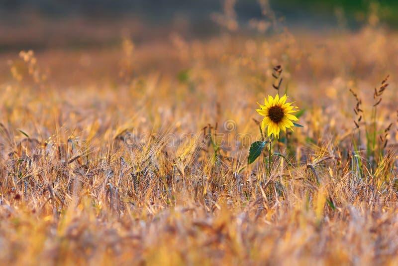 Tournesol dans le domaine de blé images stock