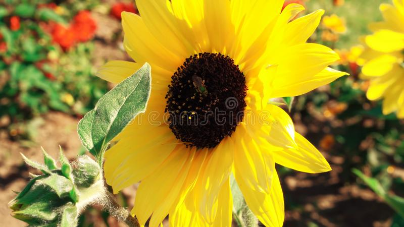 Tournesol dans le jardin - belle fleur images libres de droits