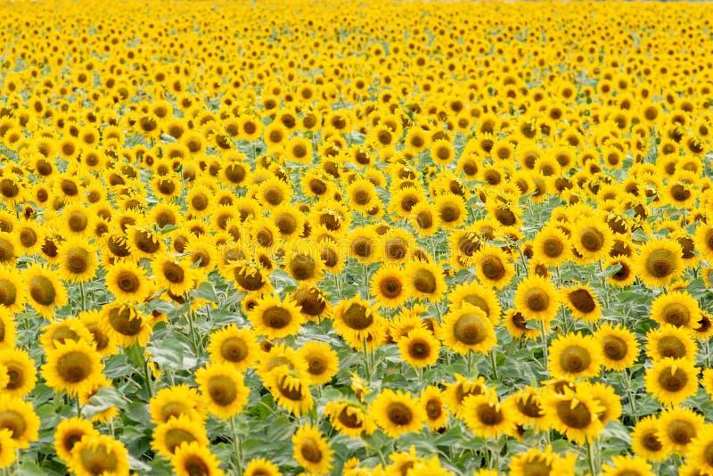 Tournesol de floraison dans le domaine Légère tache floue dans le retrait images libres de droits