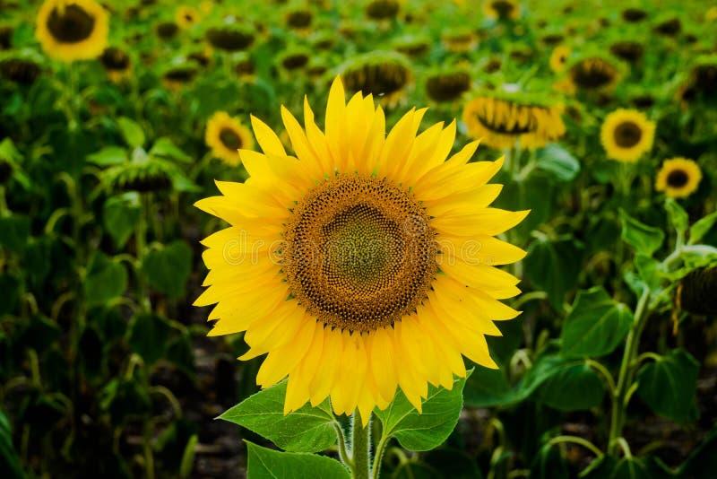 Tournesol de paysage de gisement de tournesol, croissance, champs, paysage, agriculture, fond, beau, beauté, bleu, espace libre photos libres de droits