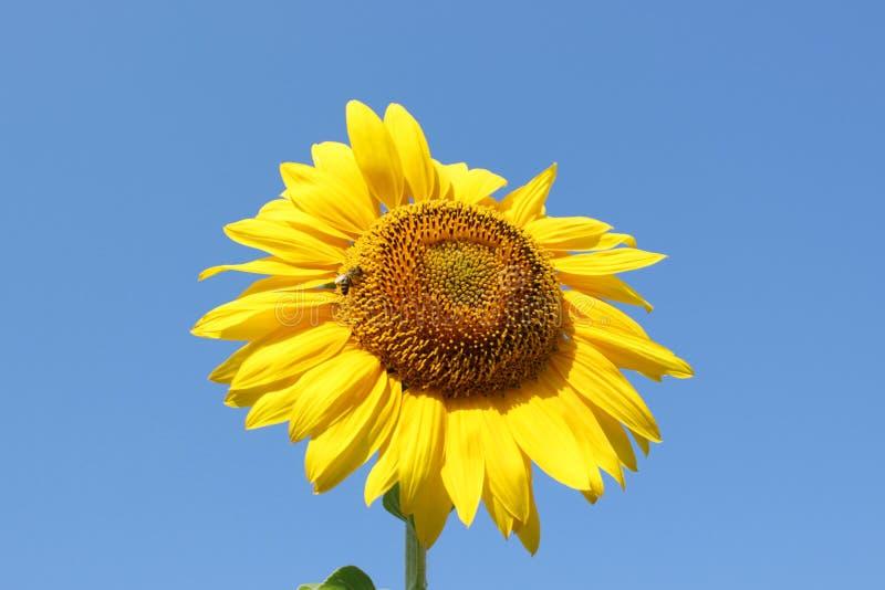 Tournesol de pollination d'abeille de miel L'abeille produit le miel sur une fleur Tir en gros plan d'abeille rassemblant le nect image stock
