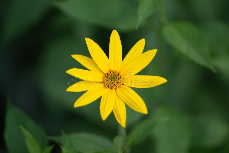 Tournesol de région boisée ou divaricatus de Helianthus dans le lit de fleur photographie stock libre de droits