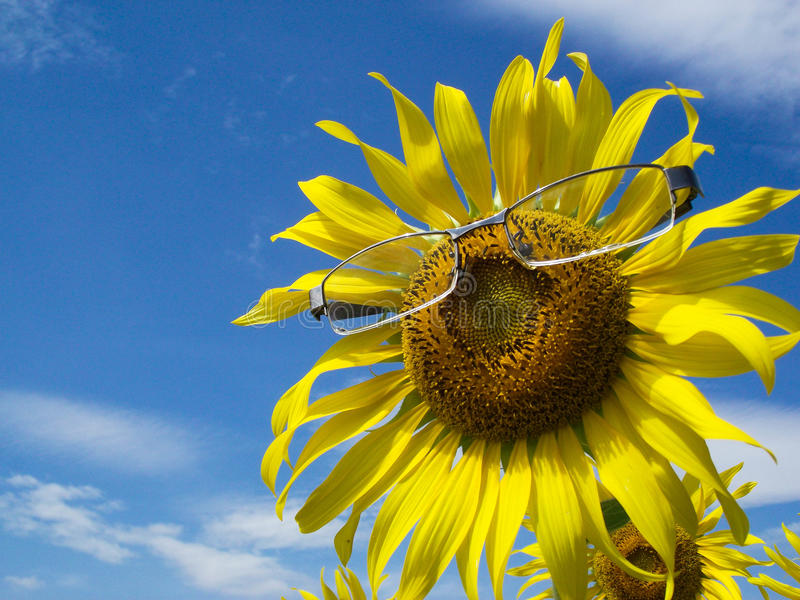 Tournesol en verre images stock