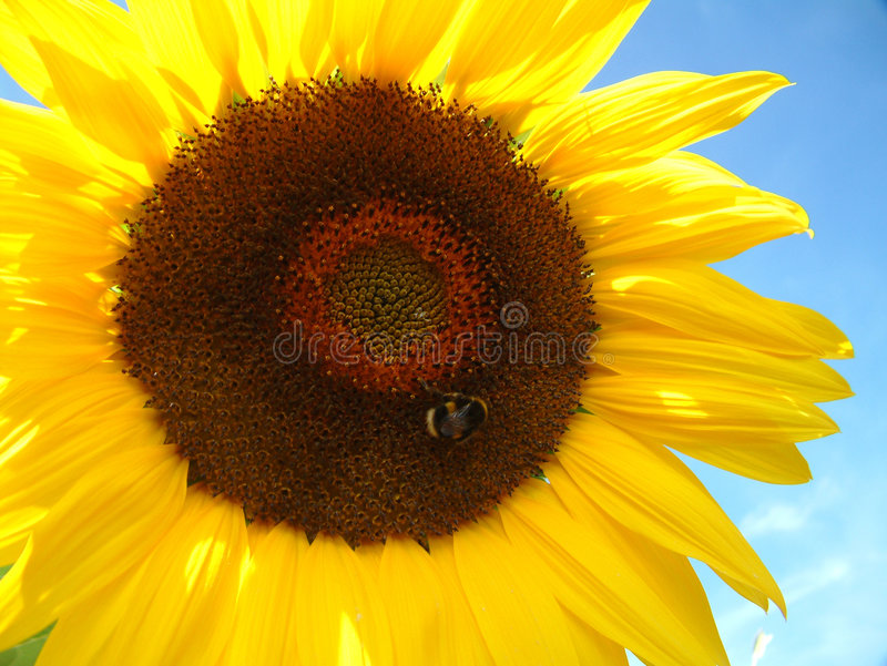 Tournesol et abeille photos stock