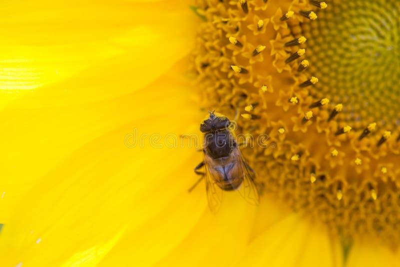 Tournesol et hoverfly Eristalis, macro vue Fleur jaune de pétales avec la mouche Profondeur de zone, orientation sélectrice image libre de droits