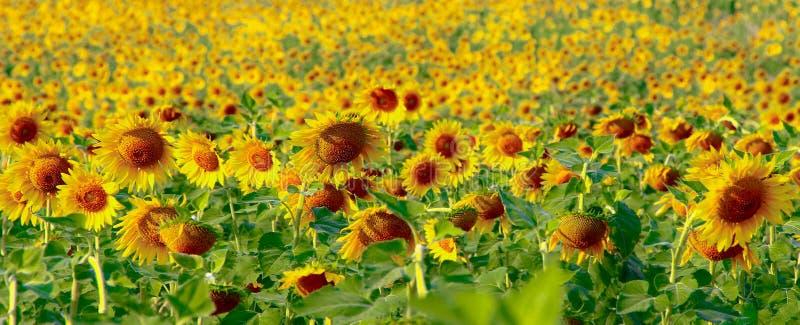 Tournesol et lumière du soleil images libres de droits