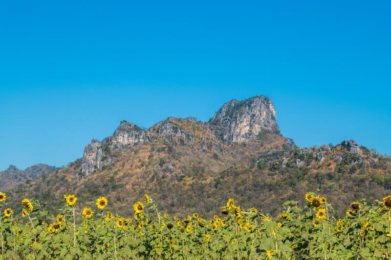 Tournesol et montagne photo libre de droits