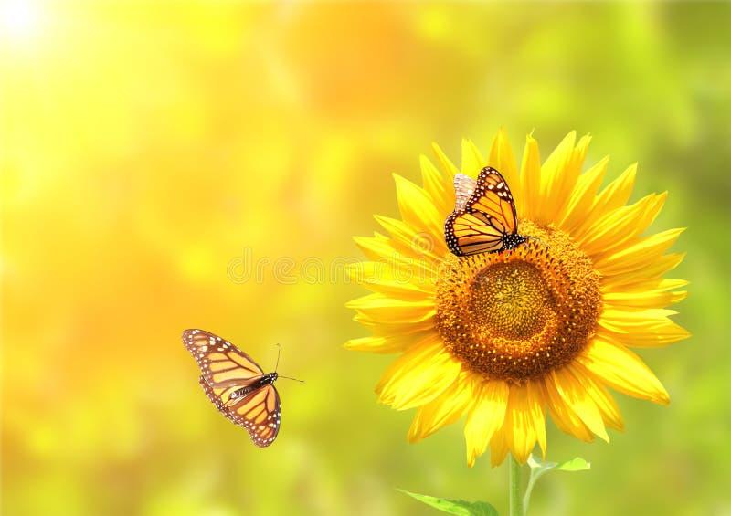 Tournesol et papillons de monarque sur le fond ensoleillé brouillé image stock