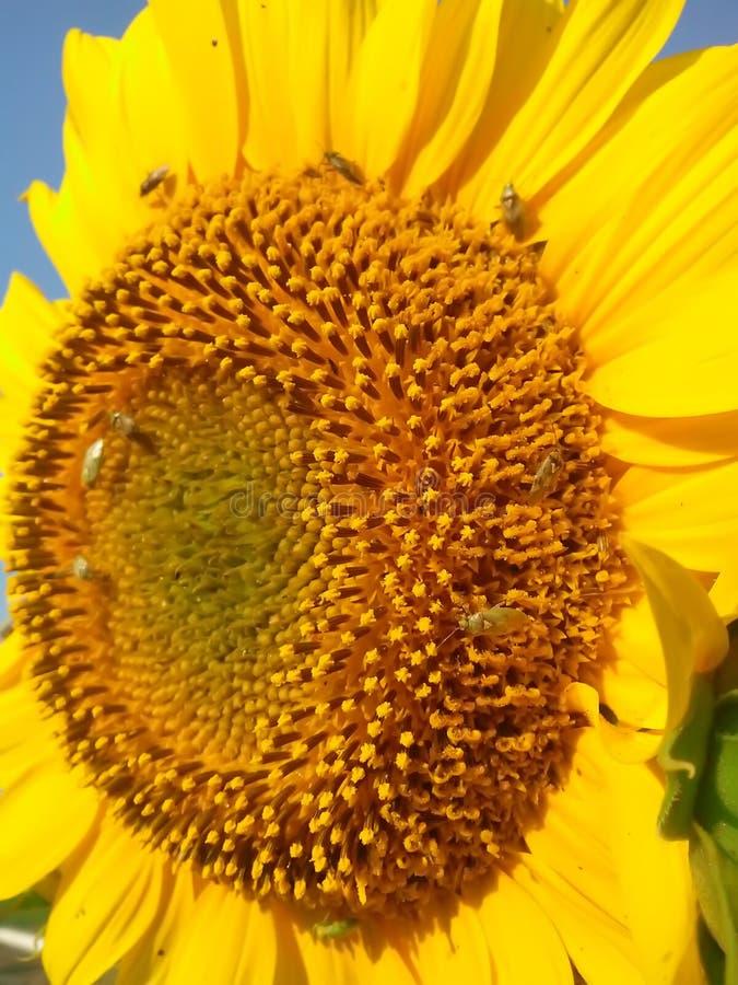 Tournesol et scarabées images stock