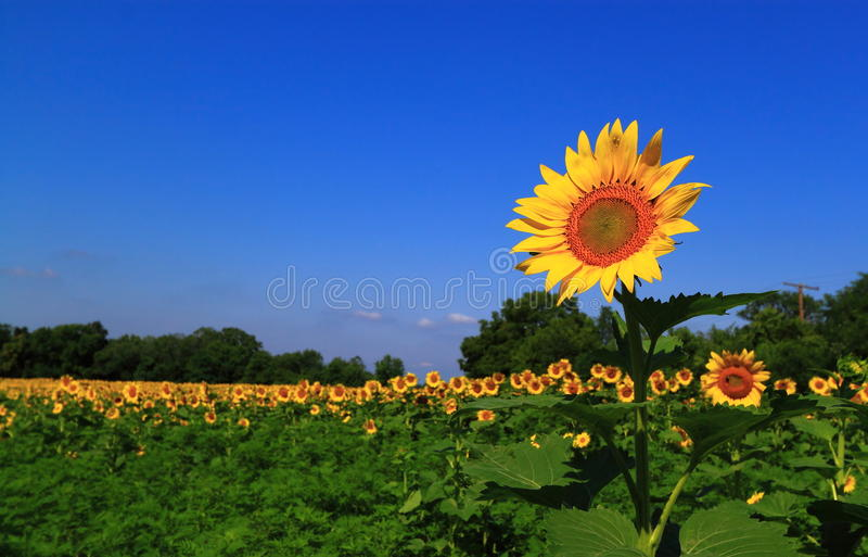 Tournesol exceptionnel photographie stock