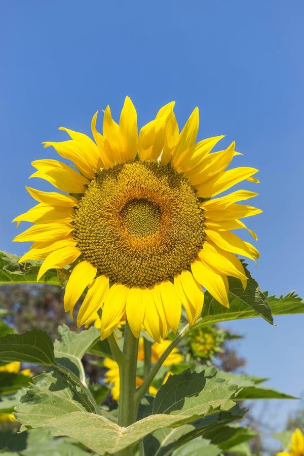Tournesol fleurissant sur le champ dans le jour ensoleillé image libre de droits