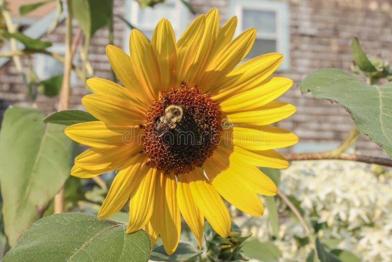 Tournesol géant avec un nectar de moisson occupé de grande abeille avec le fond brouillé de la maison superficielle par les agent photographie stock