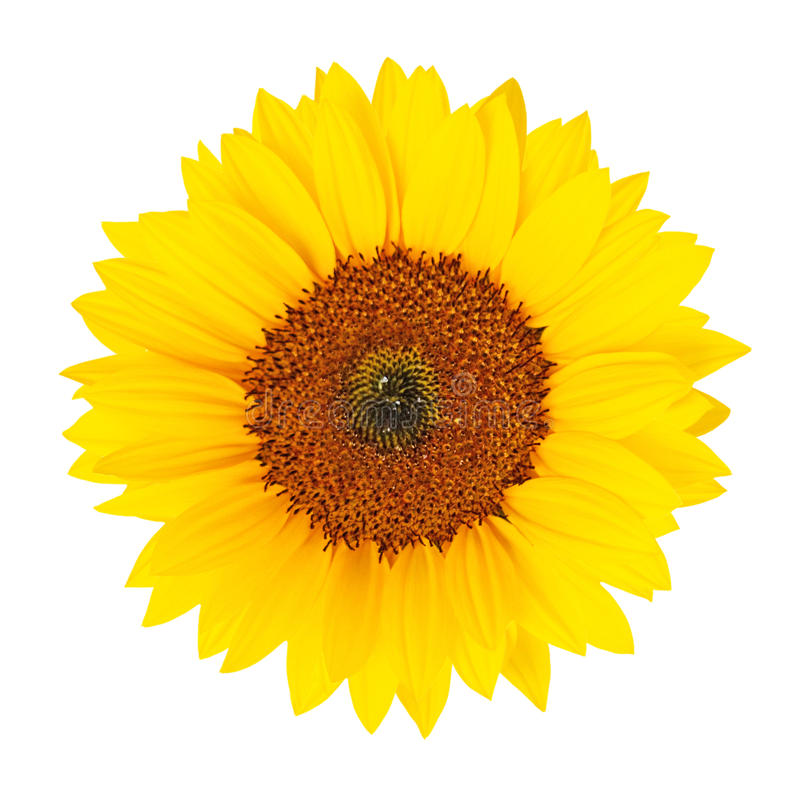 Tournesol (helianthus annuus) d'isolement image stock