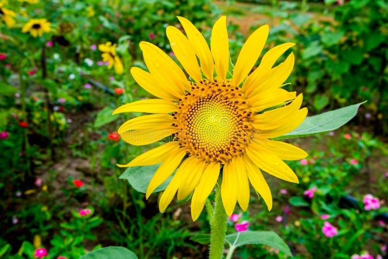 Tournesol jaune au milieu du jardin d'agrément photos libres de droits