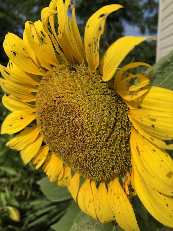 Tournesol jaune avec des fleurons Pennsylvanie 2019 images stock