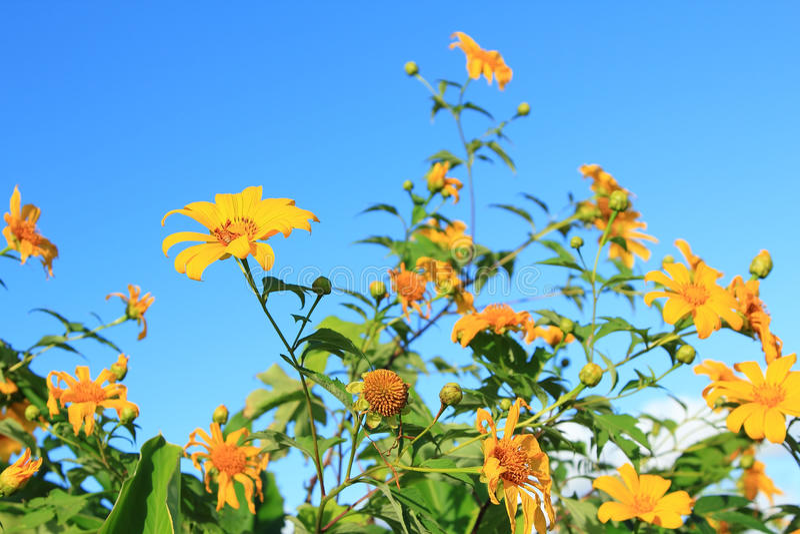 Tournesol mexicain [diversifolia de Tithonia] photos libres de droits