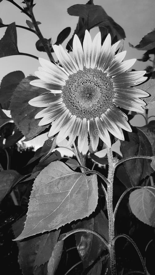 Tournesol noir et blanc photo stock