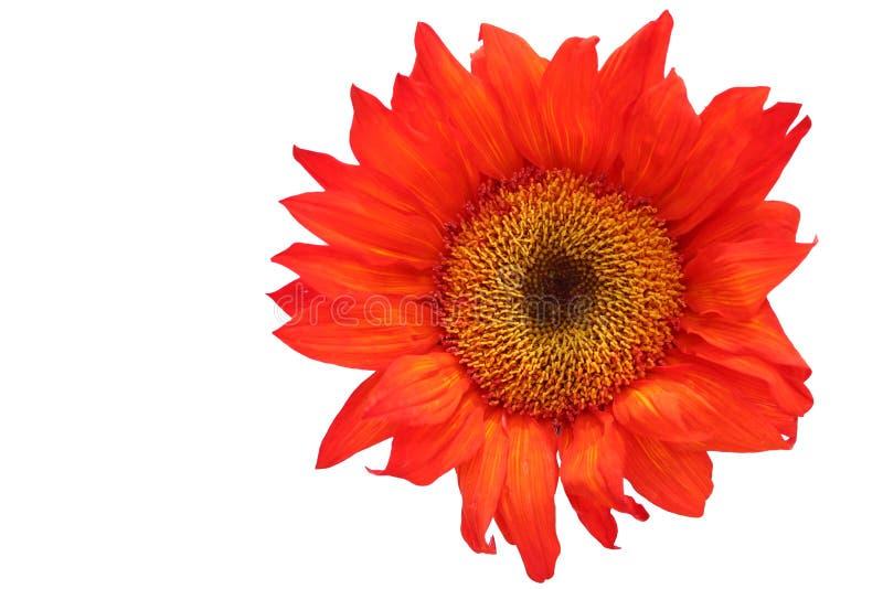Tournesol orange sur le fond blanc images libres de droits