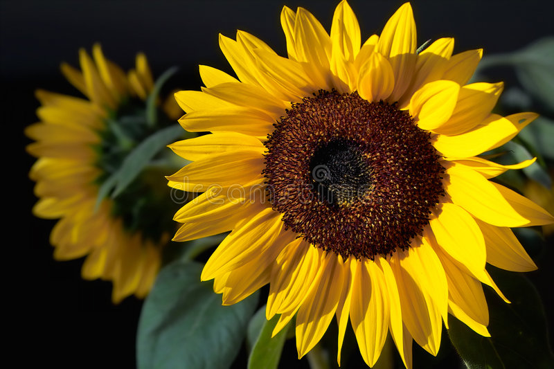 Tournesol rougeoyant images stock