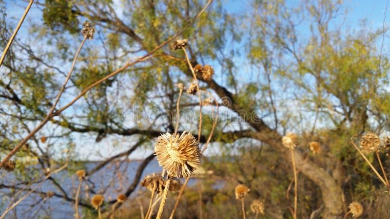 Tournesol sec en nature avec le lac et le ciel photos stock