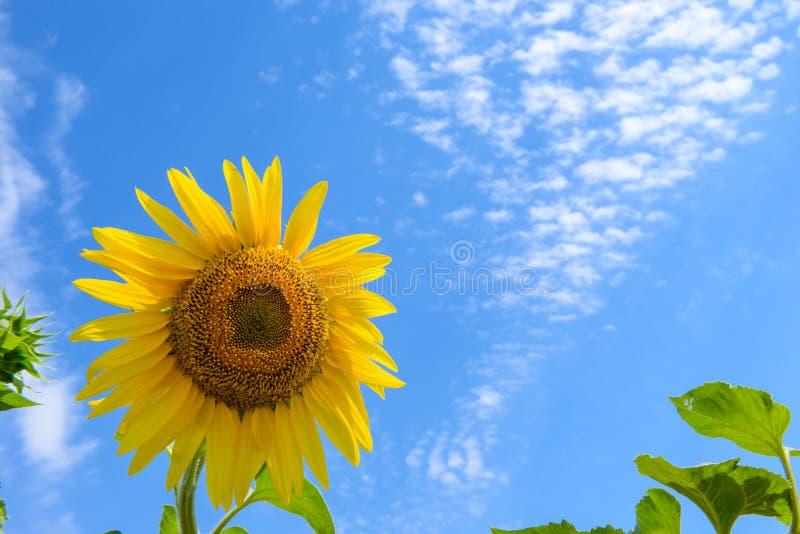 Tournesol sur le fond du ciel bleu nuageux Le foyer sélectif, se ferment  photo libre de droits
