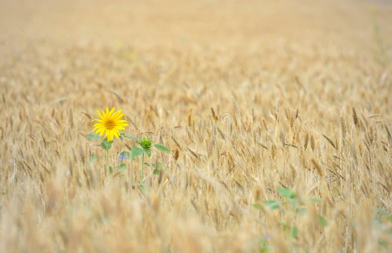 Tournesol sur un champ de blé photo libre de droits